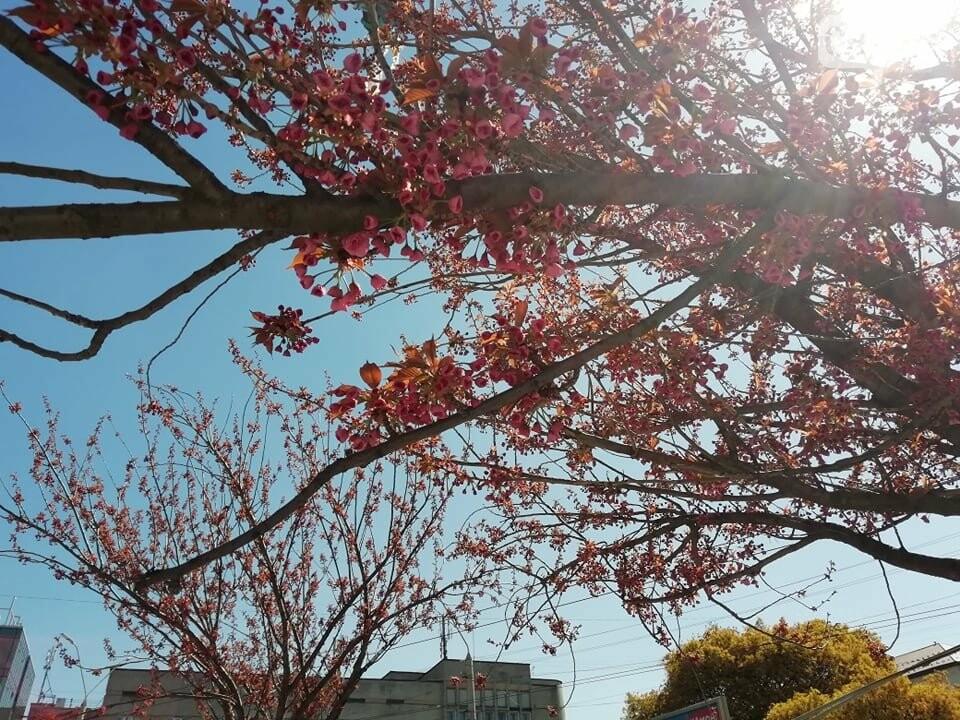 Де у Львові квітнуть сакури, - ІНТЕРАКТИВНА МАПА, ФОТО, фото-3