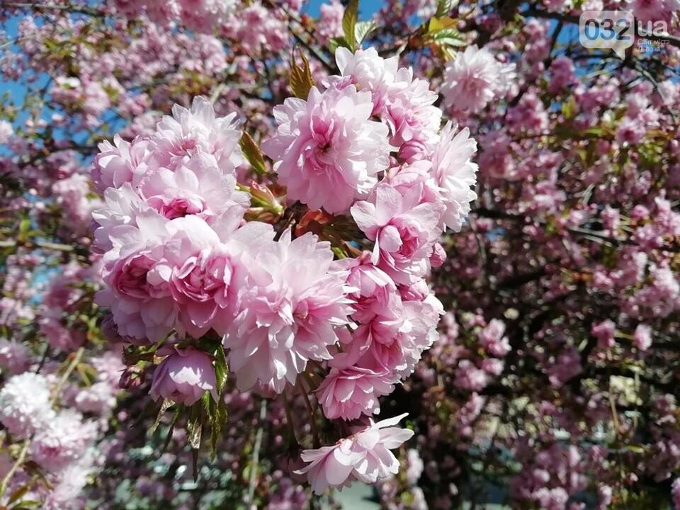 Де у Львові квітнуть сакури, - ІНТЕРАКТИВНА МАПА, ФОТО, фото-4