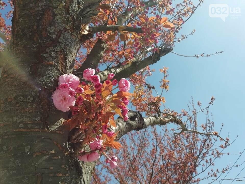 Де у Львові квітнуть сакури, - ІНТЕРАКТИВНА МАПА, ФОТО, фото-2