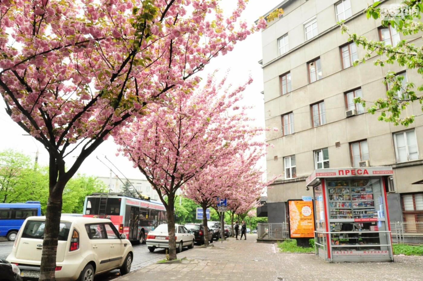 Де у Львові квітнуть сакури, - ІНТЕРАКТИВНА МАПА, ФОТО, фото-1
