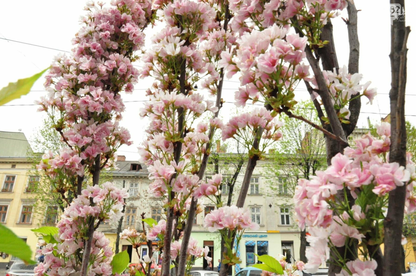 Де у Львові квітнуть сакури, - ІНТЕРАКТИВНА МАПА, ФОТО, фото-11