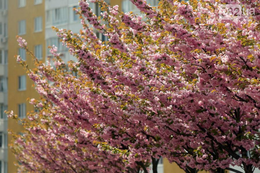 Де у Львові квітнуть сакури, - ІНТЕРАКТИВНА МАПА, ФОТО, фото-15, Фото: sykhiv.media
