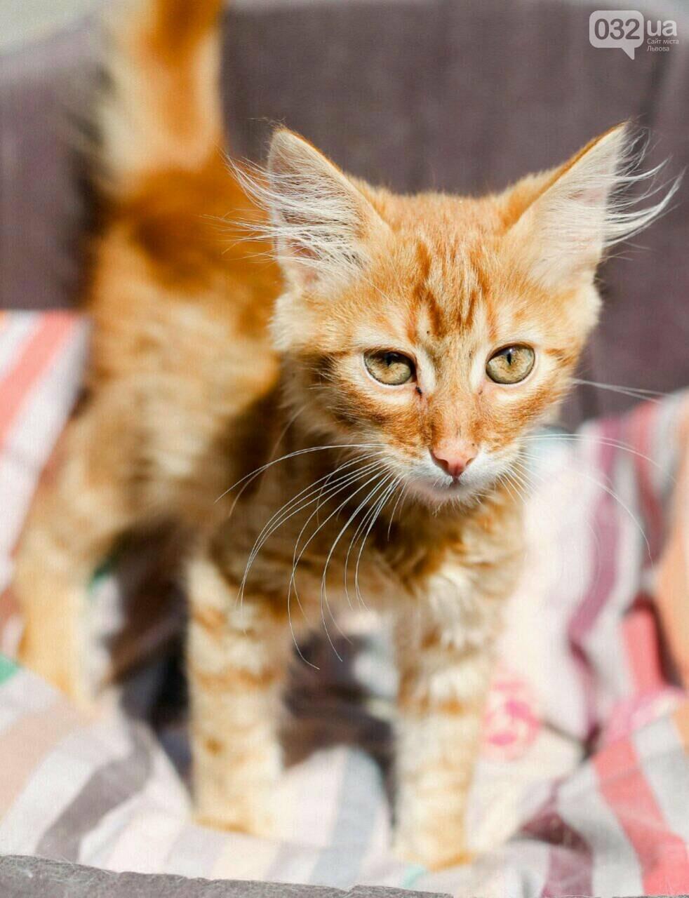8 милих котиків чекають на добрих господарів у Домівці врятованих тварин, - ФОТО, фото-7