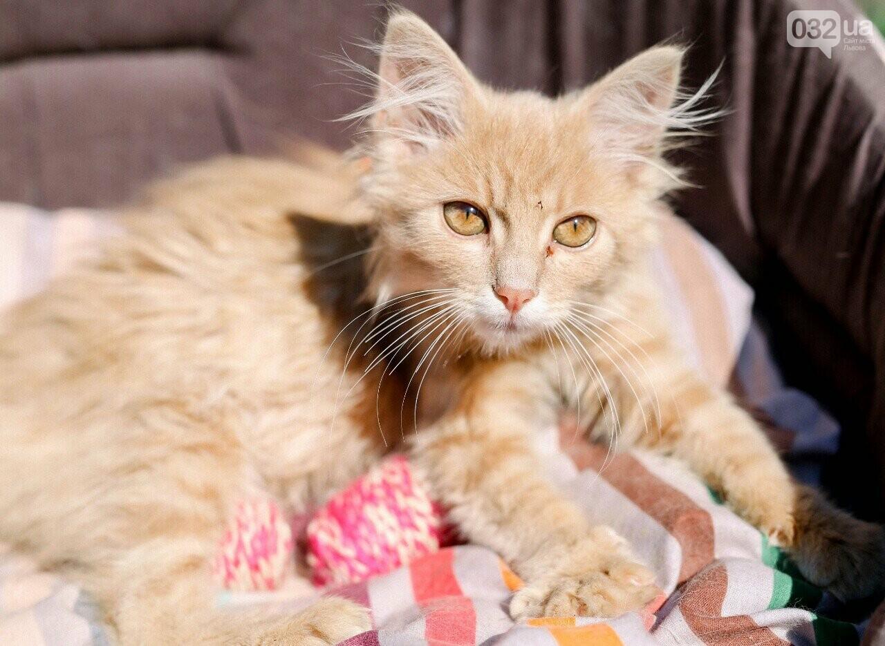 8 милих котиків чекають на добрих господарів у Домівці врятованих тварин, - ФОТО, фото-2