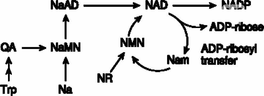 Нікотинамід рібозід в центрі досліджень здорового старіння, фото-1