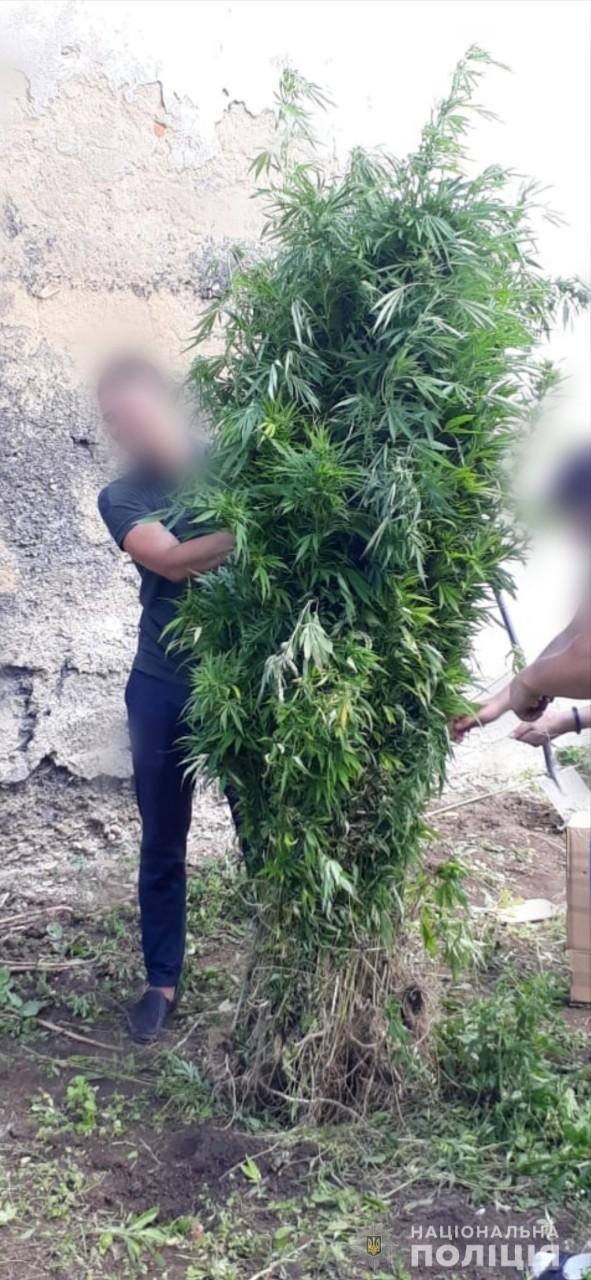 На Львівщині 40-річний чоловік незаконно вирощував рослини коноплі, - ФОТО, фото-1