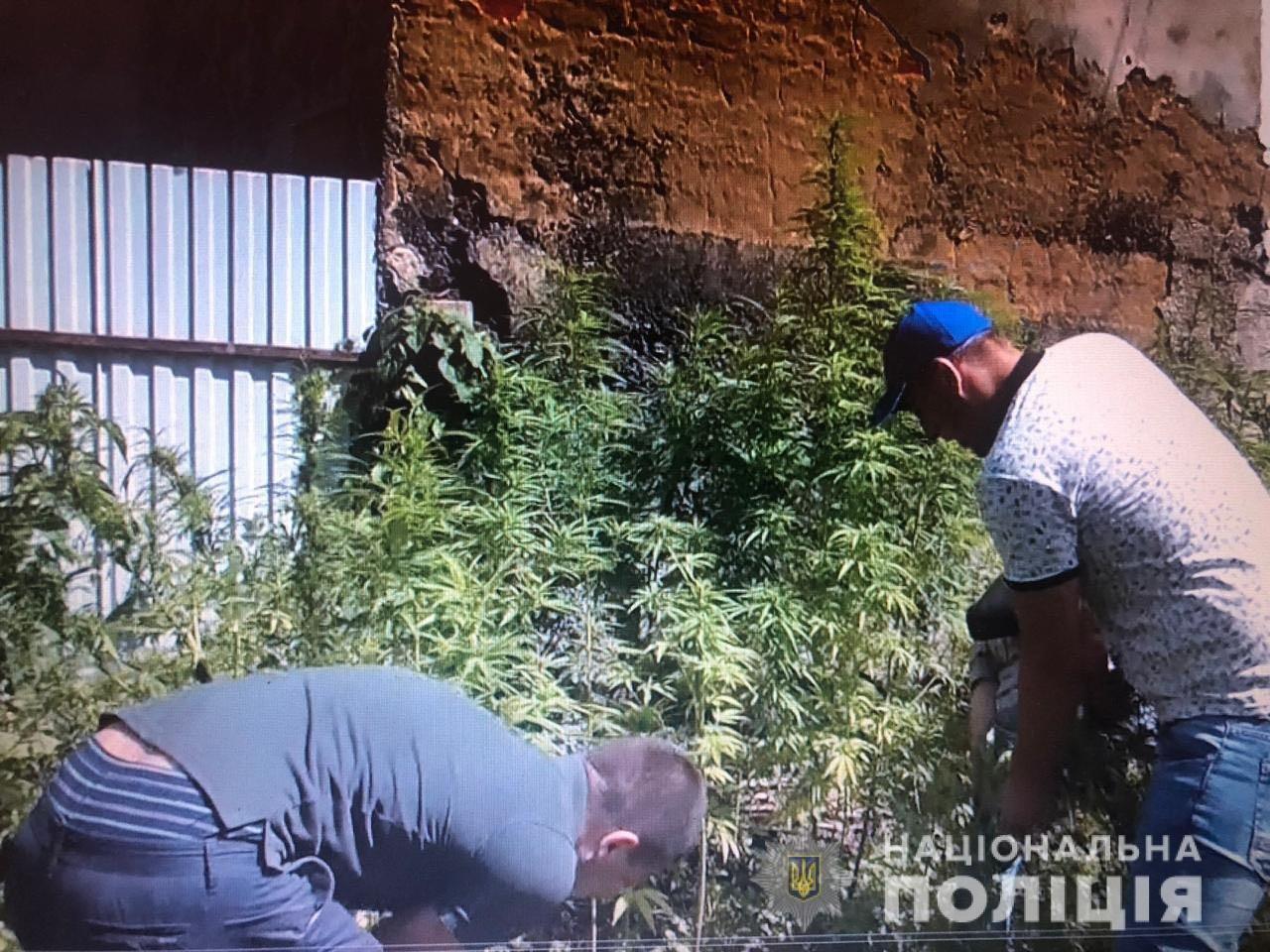 На Львівщині 40-річний чоловік незаконно вирощував рослини коноплі, - ФОТО, фото-3