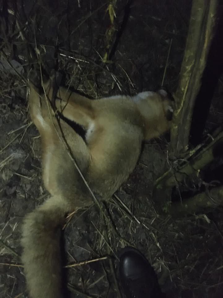 Фото: Лисиця,яка потрапила в пастку / Орест Залипський, фейсбук