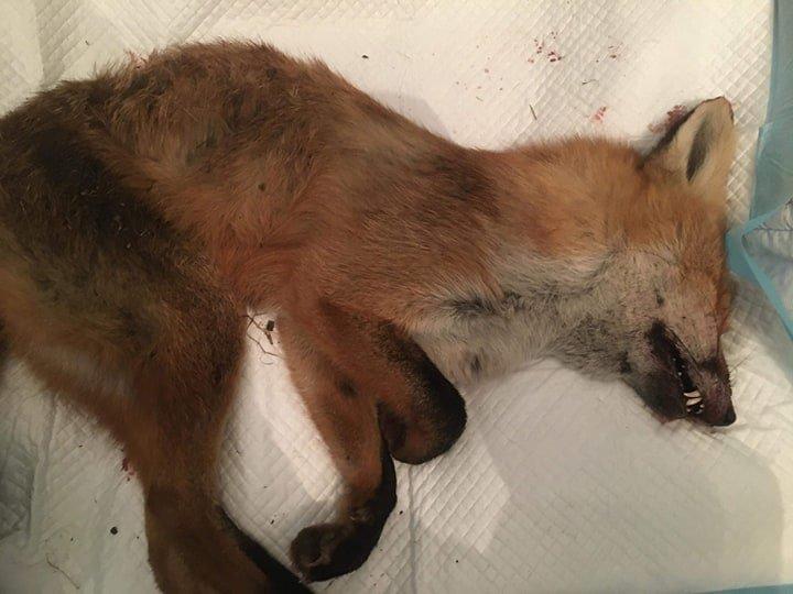 Фото: лисиця, яка потрапила у пастку / Орест Залипський