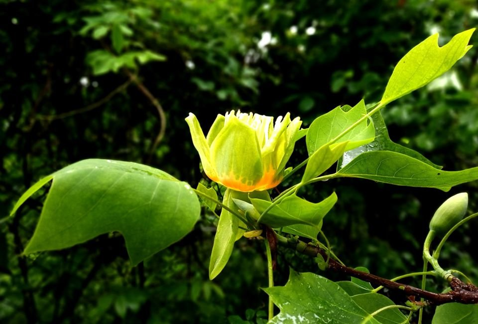 Фото: тюльпанне дерево / Ботанічний сад ЛНУ ім. І. Франка, фейсбук