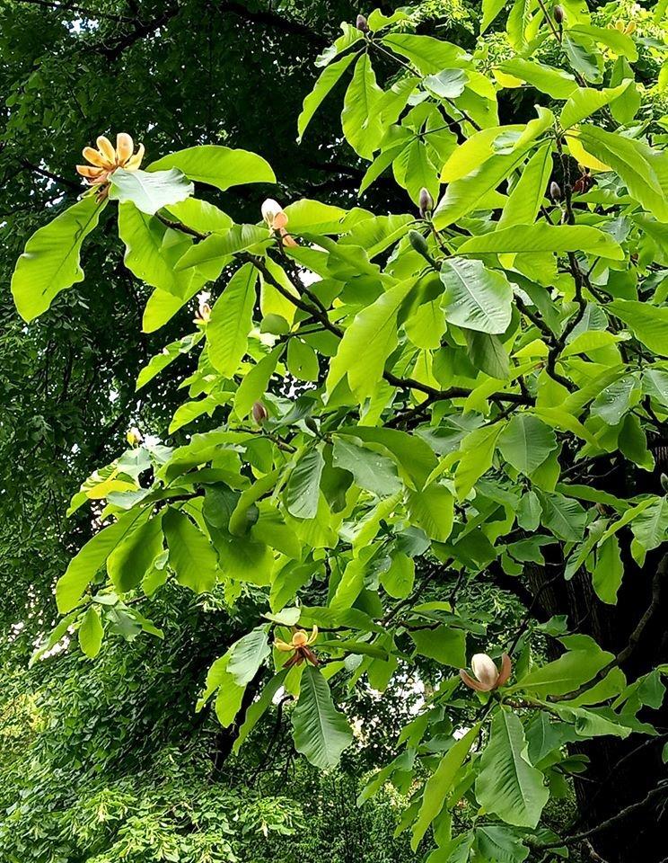Фото: магнолія / Ботанічний сад ЛНУ ім. І. Франка