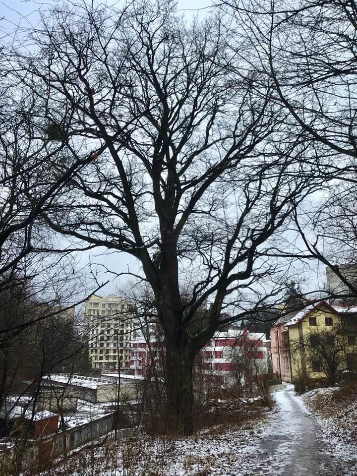 150-річний дуб, Фото: Facebook/Олександра Сладкова
