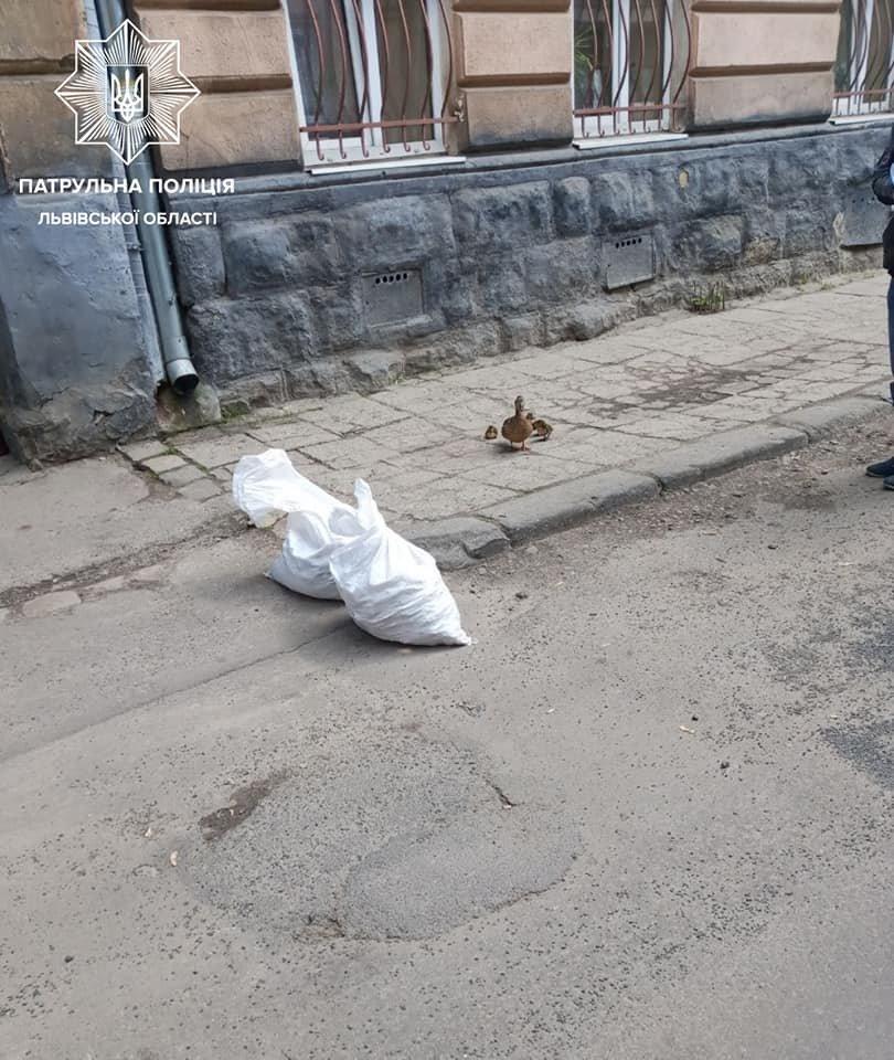 У Львові патрульні врятували дику качку з каченятами, - ФОТО, фото-1, Фото: Патрульна поліція Львівської області