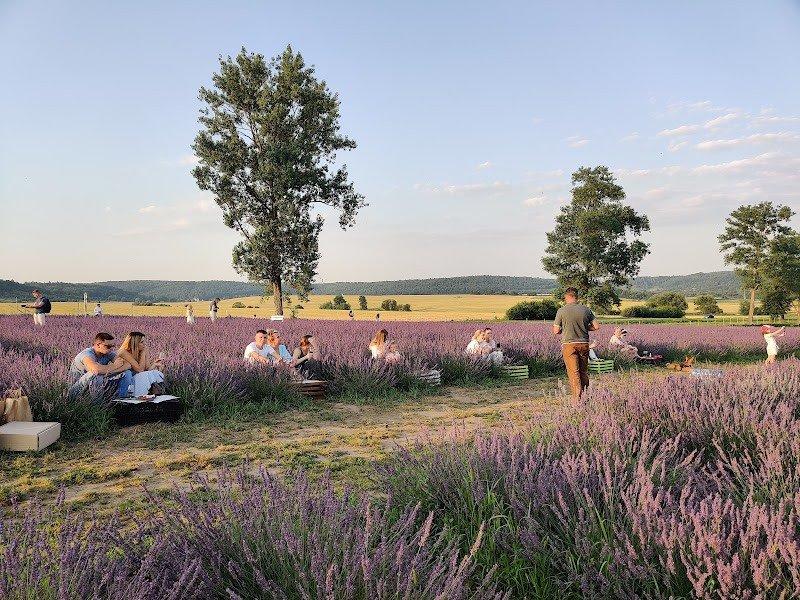 Лавандове поле у селі Стрілки на Львівщині