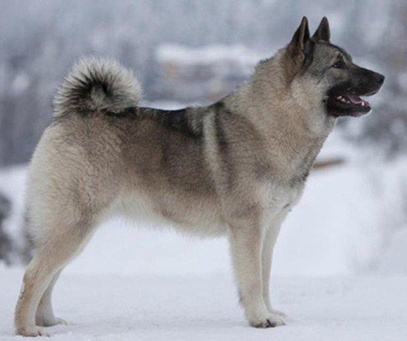 собака породи норвезький сірий елкхунд
