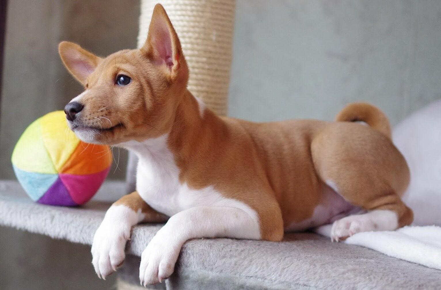 собака породи басенджі