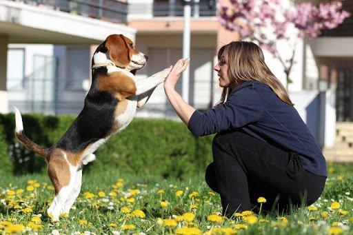 собака бігль грає з власницею